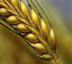Grain-of-wheat