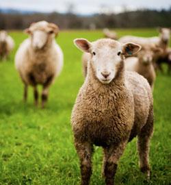 Like-sheep